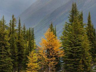 Grande Mélèze D'arbres