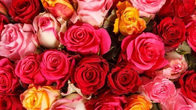 Noce De Rose Fleurs De Toutes Les Couleurs